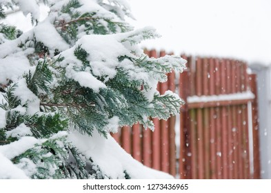 Snowy pine tree on blurred house fence background, winter scene