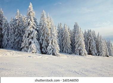 Snowy pine trees on a winter landscape