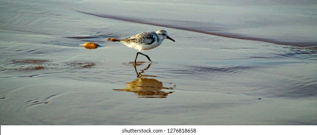 Snowy Plover Wading Bird running on beach through waves on sand, close up single bord showing white grey and black plumage