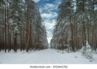 Snowy road in winter forest with huge trees covered by snow. Scenic landscape. Beautiful nature. Blue cloudy sky.