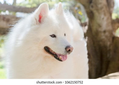 Snowy, a Samoyed dog from Malta