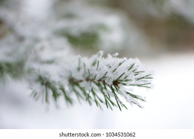 A snowy spruce tree branch with a blurred white background closeup