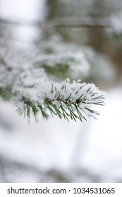 A snowy spruce tree branch with a blurred white background closeup vertical