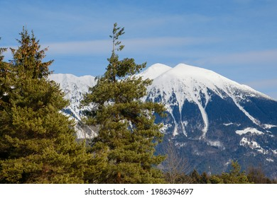 Snowy Stol mountain behind spruce trees