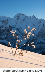 Snowy thistle with Marmolada glacier in the background, Canazei, Italy, Europe