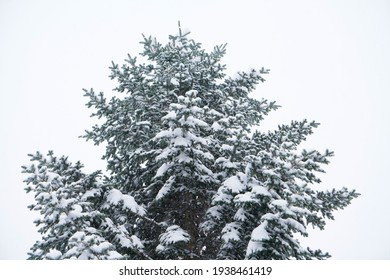 snowy tree in the catalan pyrenees