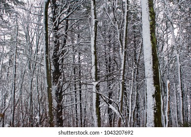 Snowy Tree Trunks