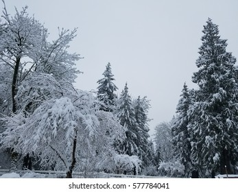 Snowy trees during an afternoon snow with  gray sky