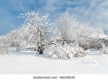 The snowy trees in January