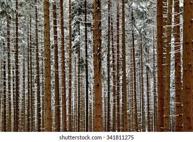 Snowy trunks of spruce trees