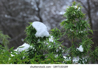 Snowy twigs of the green plant in the winter