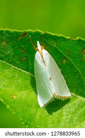 Snowy Urola Moth resting on a leaf. Rouge National Urban Park, Toronto, Ontario, Canada.