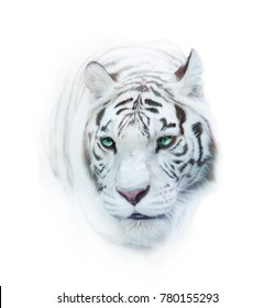 Snowy whie tiger portrait over a white in high key