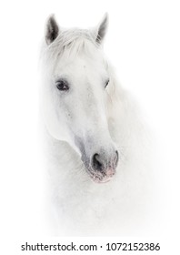 Snowy white andalusian horse over a white background
