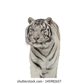 A snowy white bengal young tiger, isolated on white background.
