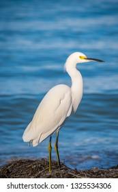 A Snowy White Egret in Anna Maria Island, Florida