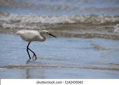 Snowy white egret bird walking on beach looking for fish in the surf.