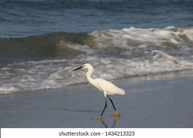 Snowy white egret bird walking wading in the surf on the beach on a sunny blue sky day.