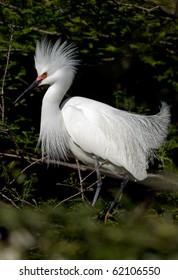 Snowy white egret with breeding headdress