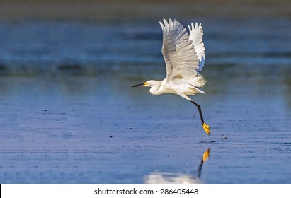 Snowy white egret in full flightMyakka State Park with the state tree of Florida, the cabbage palm