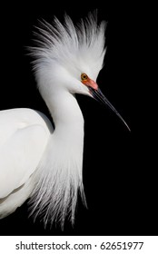 Snowy white egret poses with open headdress
