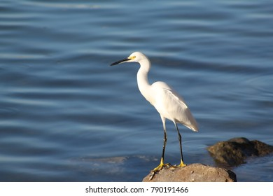 Snowy white egret standing on a rock with wavy blue water