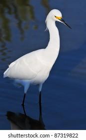 snowy white egret wades in florida wetland pond