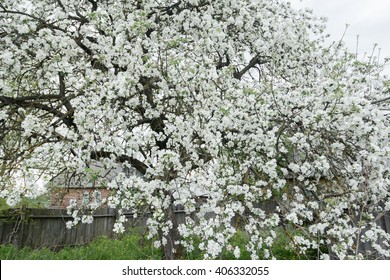 Snowy white flowers of apple tree in spring garden at old wood farm log house background