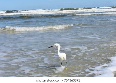 Snowy white heron egret beach bird wading in the surf on a clear blue sky day.