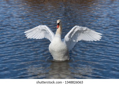 A snowy white mute swan rises out of the rippling water of a blue lake.  At it rises, the  swan opens its wings like an angel floating to heaven.