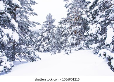Snowy winter forest in the mountains