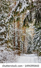 Snowy winter forest with tall pines and beautiful snowy coniferous trees. White snowy path and a lot of thin twigs covered with snow