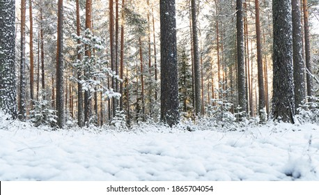 Snowy winter landscape panorama with forest and sun rays. Winter sunset in forest. Sun shines through snow covered trees. Winter morning nature