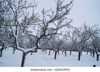Snowy winter orchard