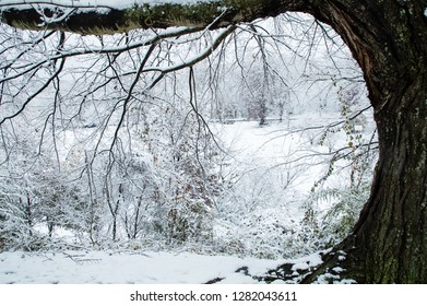 Snowy winter scene framed by large oak tree