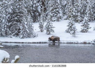 Snowy winter scene in Yellowstone with pine trees, river and one buffalo