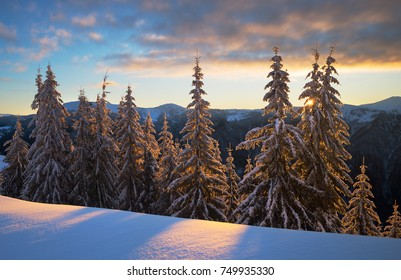 Snowy winter spruce forest in morning light. Carpathians, Pishkonia range, Ukraine