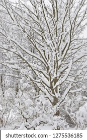 Snowy winter trees, fresh new snow covered branches after blizzard snowstorm, heavy snowfall drifts, multiple tree twigs detail, large detailed vertical closeup