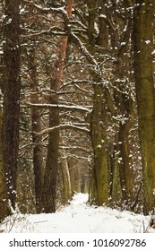 Snowy woodland tunnel in Poland