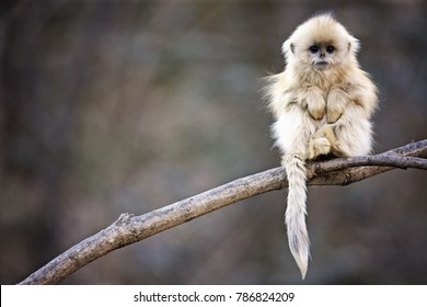 snub nosed monkey sitting on a branch