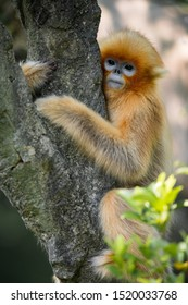 A snub-nosed monkey kid hold a trunk