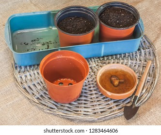 Soaking tubers anemones for growing in pots before planting.