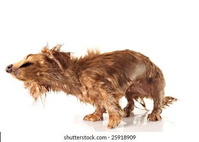 Soaking wet dog, shaking dog. Studio isolated, focus on the nose.