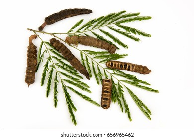Soap Pod (Acacia concinna (Willd.) DC.) Green Leaves and seeds, medicinal properties.