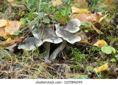 Soap-scented toadstool growing among leafs