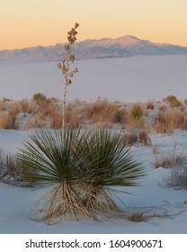 Soaptree Yucca (Yucca elata) at White Sands National Monument near Alamogordo, New Mexico
