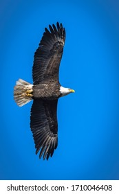 Soaring and Flying Bald Eagle in Sunny Sky
