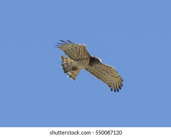 Soaring like an eagle! Short toed eagle over the Straits of Gibralter
