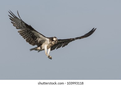 Soaring Osprey against a blue sky