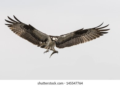 Soaring osprey carrying a fish in it's talons